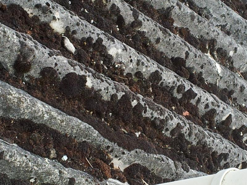 Excessive Moss On Asbestos Corrugated Roof Diynot Forums